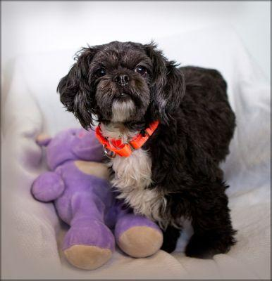 """BERNIE"" cute and independent Shih Tzu mix"