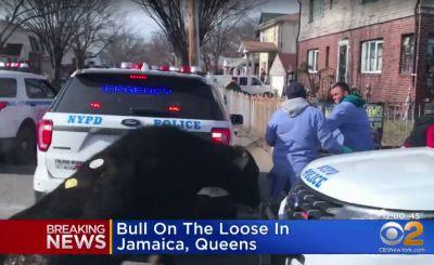 A runaway bull that led the New York City police on a wild chase has died