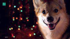 Holiday Plants That Are Hazardous For Pets