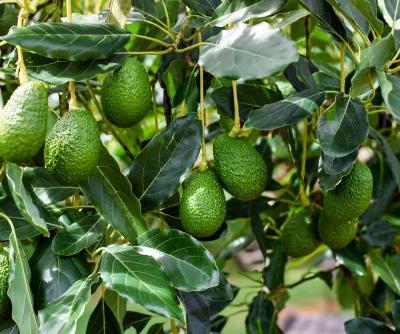 You Can Grow Your Own Avocado Trees for Only $11