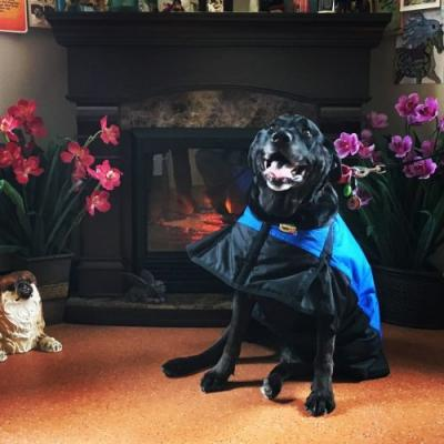 Anna the Black Lab in Laser Therapy