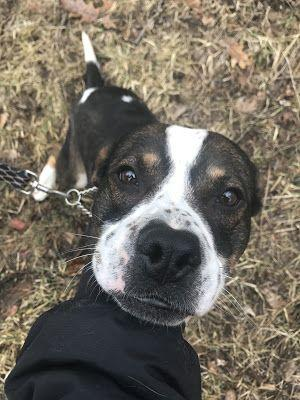 Adoption Monday: Moe, English Bulldog & American Bulldog Mix, New Milford, CT
