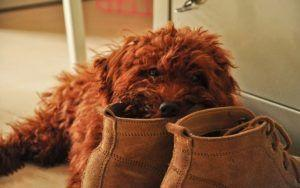 Why Dogs Love To Chew Your Stuff