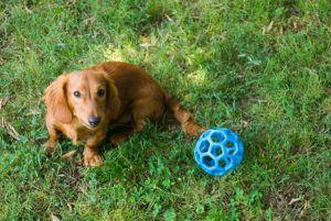 3 Tips To Teach Your Dachshund To Play F