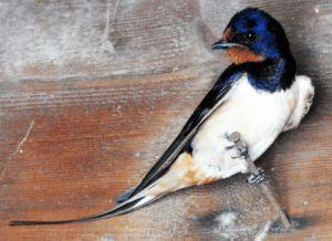 "Beloved Barn Swallow Gets SMRT Sequencing ""Platinum Genome"" Treatment"