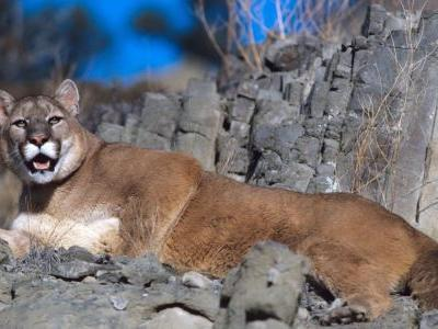 Mountain lion accidentally killed in Square Butte trap line