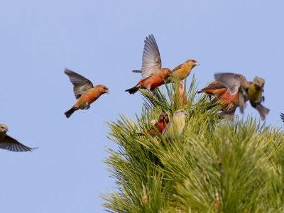Coming for Winter 2017-18: A Crush of Crossbills