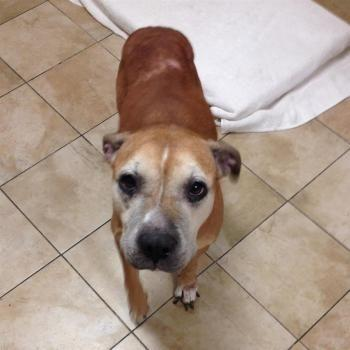 """MILDRED"" lovely senior Boxer mix"