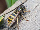 Health ministers warn residents of South Korea not to mix wasps into their alcohol