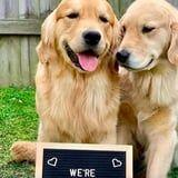 These Golden Retrievers Are Expecting Puppies, and OMG, They Have an Announcement Sign!