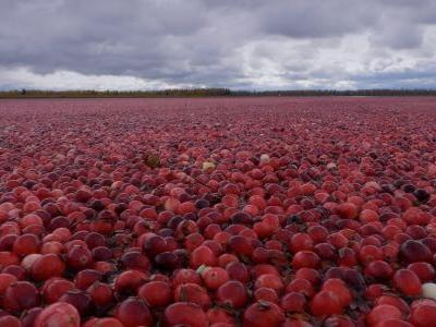 Method for quantifying insoluble PACs in cranberry could open up new avenues of research, expert says