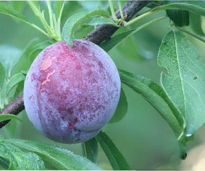 Plums can prevent colon cancer cells from spreading - study