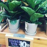 Friendly PSA: Trader Joe's Has Fiddle Leaf Fig Trees For Just $11