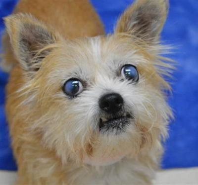 """SHORTCAKE"" terrier mix Oregon Humane Society"