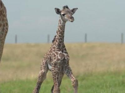 Newborn giraffe takes clumsy first steps at Ohio safari attraction