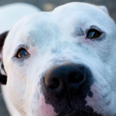 """VINNY"" UPDATE PICs cute white freckled Pitbull mix"