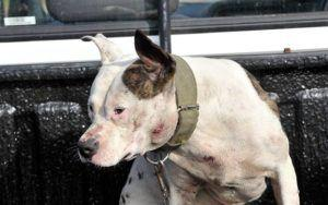 Device Notoriously Used To Train Fighting Dogs Is Legal In 30 States