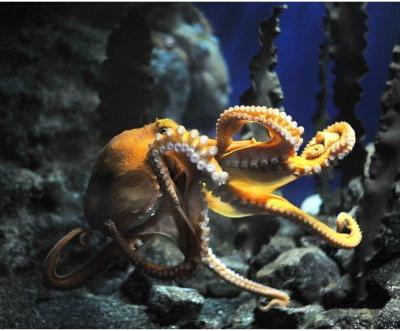 Octopuses get cuddly when given ecstasy, study finds
