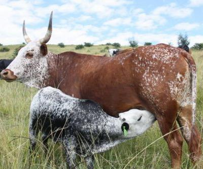 South Africa: A Fledgling Artisan Cheese Culture Under Threat
