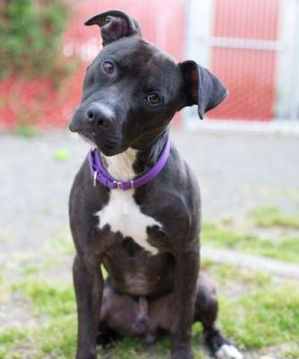 """""""LUTHER"""" sweetie little black pitbull"""