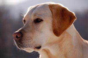 3 Things All Labrador Retriever Owners Should Know
