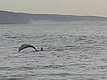 Pod of dolphins join two unsuspecting swimmers in Melbourne as they enjoy their free time outside
