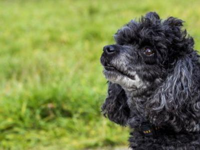 15 French Dog Breeds You'll Fall In Love With