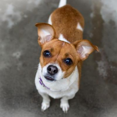 """""""MAPLE"""" jack russell mix"""