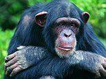 Researchers uncover new clues on chimp personalities that could explain human mental illness