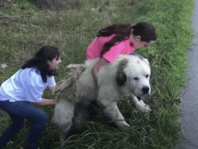 Abandoned Great Pyrenees Guards His Deceased Brother