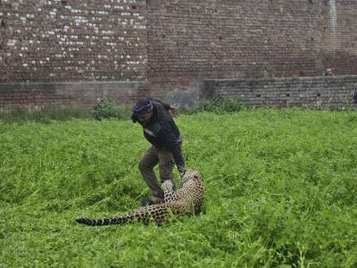 Leopard strays into residential area in India, injures 4