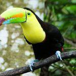 Colorful + Devious = Toucans of Costa Rica