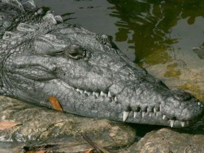 Man jumps into crocodile pool, gets attacked at Florida alligator farm