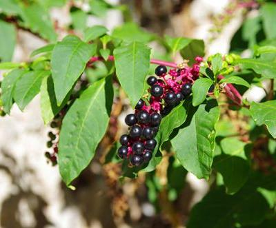 Case study looks at pokeweed and its potential use as a complementary antiviral therapy