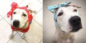 People Across The World Send Headdresses To Help Cover Former Bait Dog's Wounds