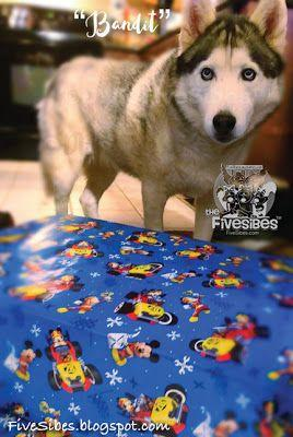 Wrapping Up Christmas, Husky Style!