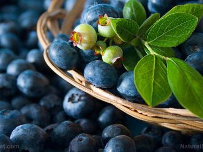 Consumption of juice from Vaccinium angustifolium, wild blueberry, found to provide cardioprotective effects including improved blood pressure for Type 2 diabetics