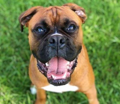 Boxer Breed Information Guide: Quirks, Pictures, Personality & Facts
