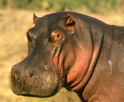 Hippo kills tourist taking photos at lake in Kenya