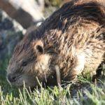 Beaver Feces Inspire a Way to Convert Type A to Type O Human Blood