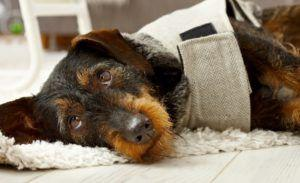 Is Your Dachshund Suffering In Silence from Joint Pain?