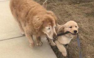 "Blind Senior Dog Gets His Own ""Seeing-Eye Puppy"""