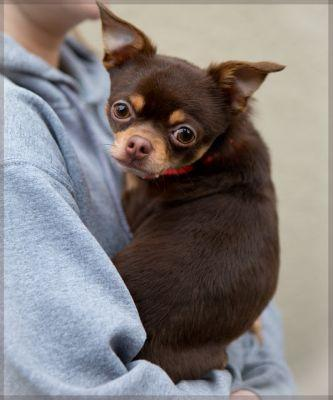 """""""ENDOR"""" cute red and tan chi"""