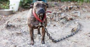 Undercover Investigation Exposes Painful Dog Fighting Realities and Leads to Arrest