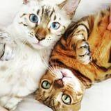 35 Pictures of Bengal Cats That Prove They're One of the Most Beautiful Breeds