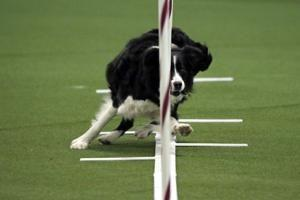 Border collie named Verb wins Westminster agility contest