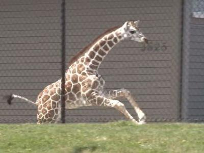 Young giraffe makes brief escape at Indiana zoo