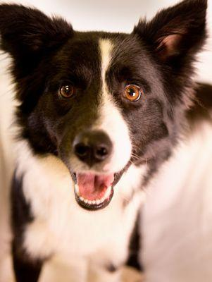 """OAKLEY"" young Border Collie"