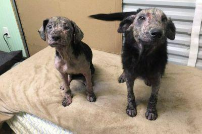 Rosalyn and Marie Survive Severe Mange and Are Ready for Adoption