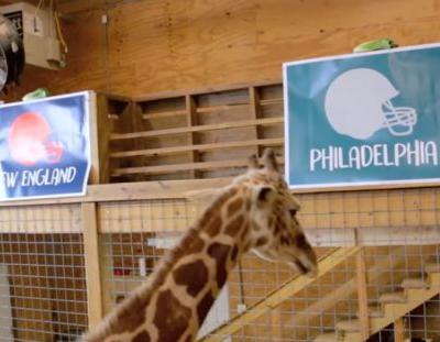 April the Giraffe makes her Super Bowl LII prediction